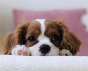 chien mignon chiot adorable cocker