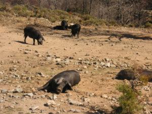 charcuterie corse lonzu cochon sauvage